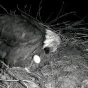 Decorah Mom and the first egg of 2017