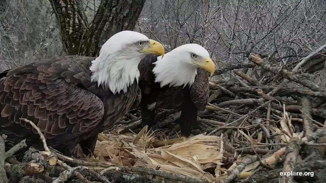 Decorah Bald Eagles