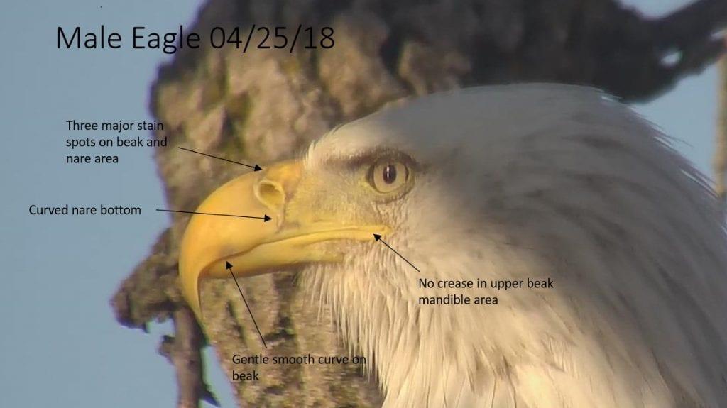 Decorah Male Eagle (DM) on April 25, 2018
