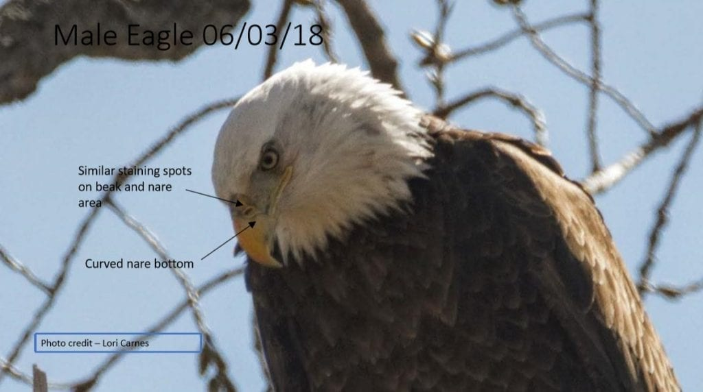 Decorah Male Eagle (DM) on June 3, 2018