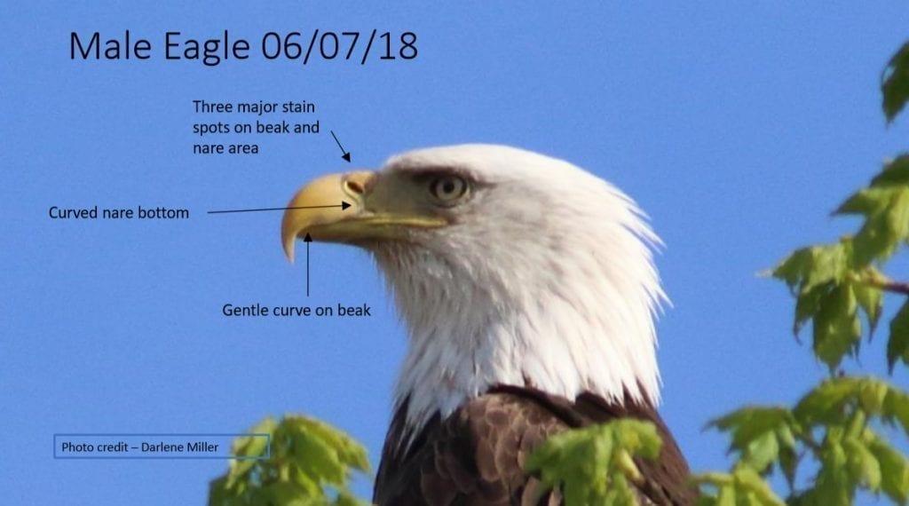 Decorah Male Eagle (DM) on June 7, 2018