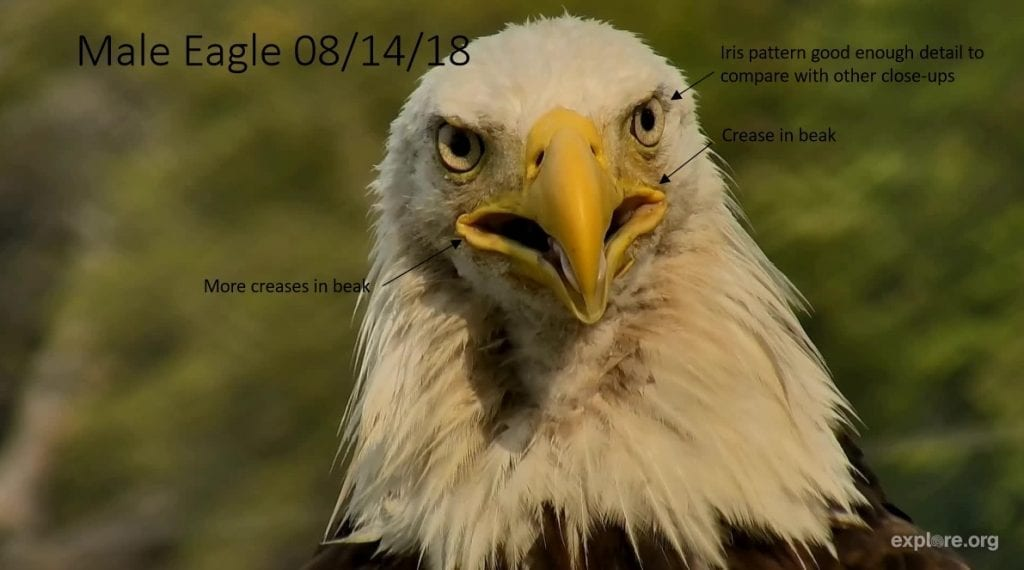 Decorah unnamed male eagle 2 on August 14, 2018