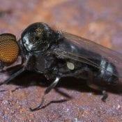 Black Fly (Simulium)
