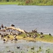 September 2019: Migrating Birds on the Mississippi Flyway