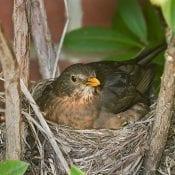 A blackbird's cup nest