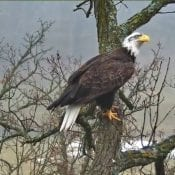 December 9, 2019: A subadult at the North Nest