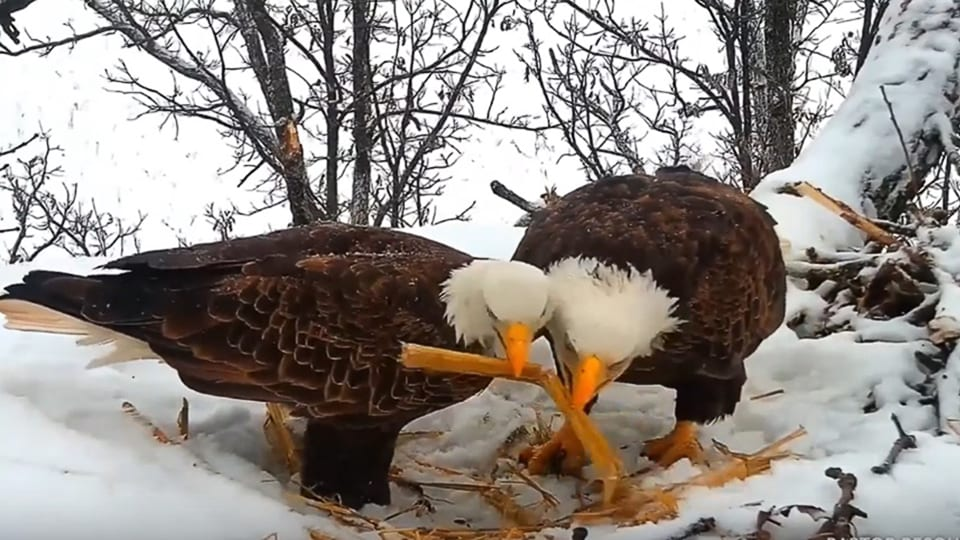 January 24, 2020: Mr. North and DNF work on the North Nest together