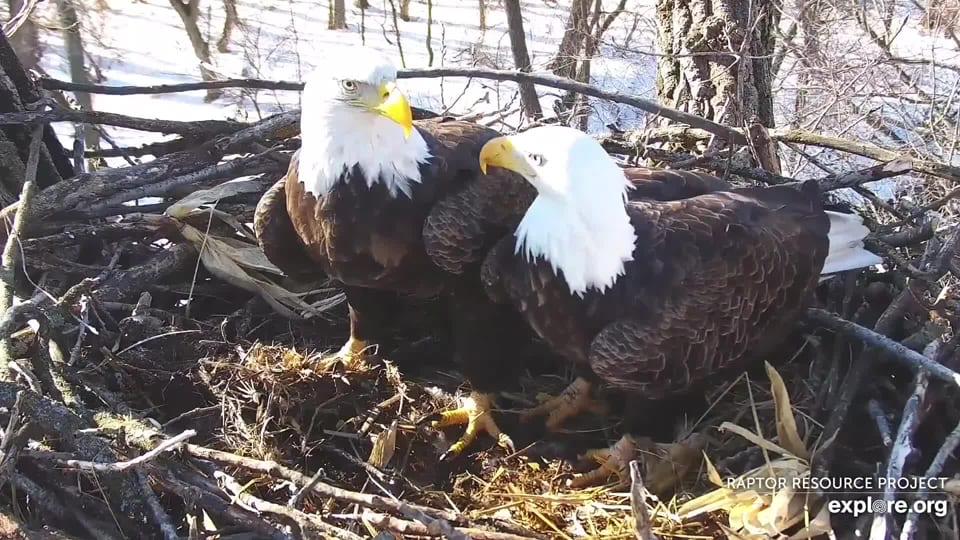 February 5, 2020: Body brushing - Mom and DM2 stand wing to wing in the nest