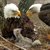 April 20, 2020: Mom arrives at the nest after flying through a wind storm