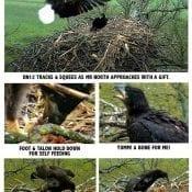 Decorah North Nest: DN12 Milestones