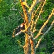 June 13, 2020: DN12 in the perch tree across the pasture (T3)