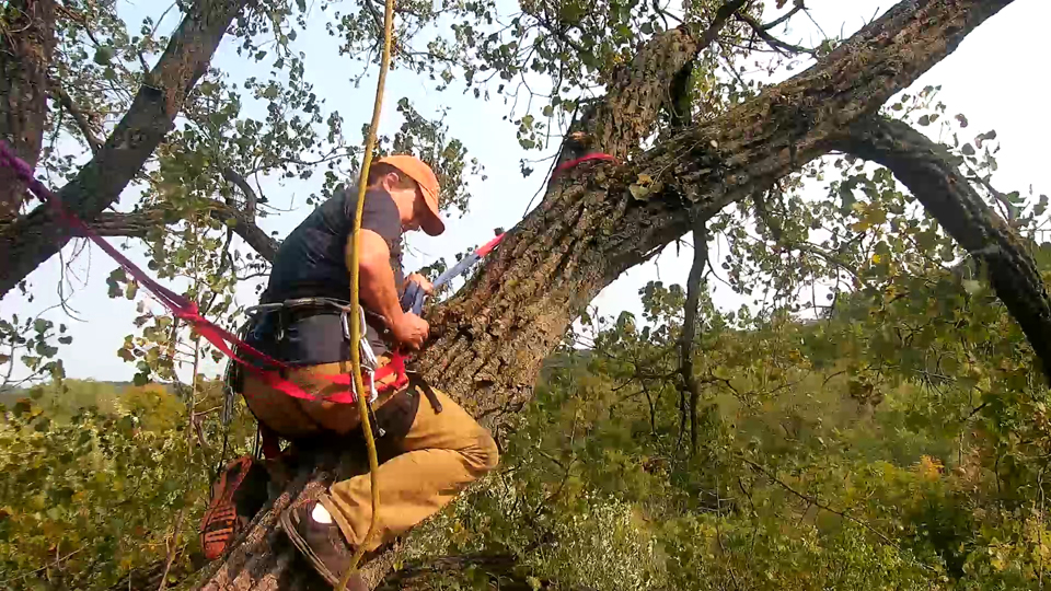 September 19, 2020: Amy trims branches at N2B. She's transitioning from a lower to a higher anchor in this shot.