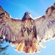 Red-Tailed Hawk, Credit Sophia Landis