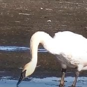 October 16, 2020: Trumpeter Swan