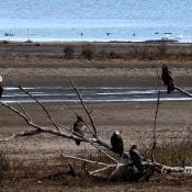 November 2, 2020: Bald eagles on the Mississippi Flyway