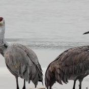 December 15, 2020: Image of Sandhill cranes preening on the Flyway
