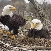 April 6, 2020: Image of Mom and DM2 in the nest