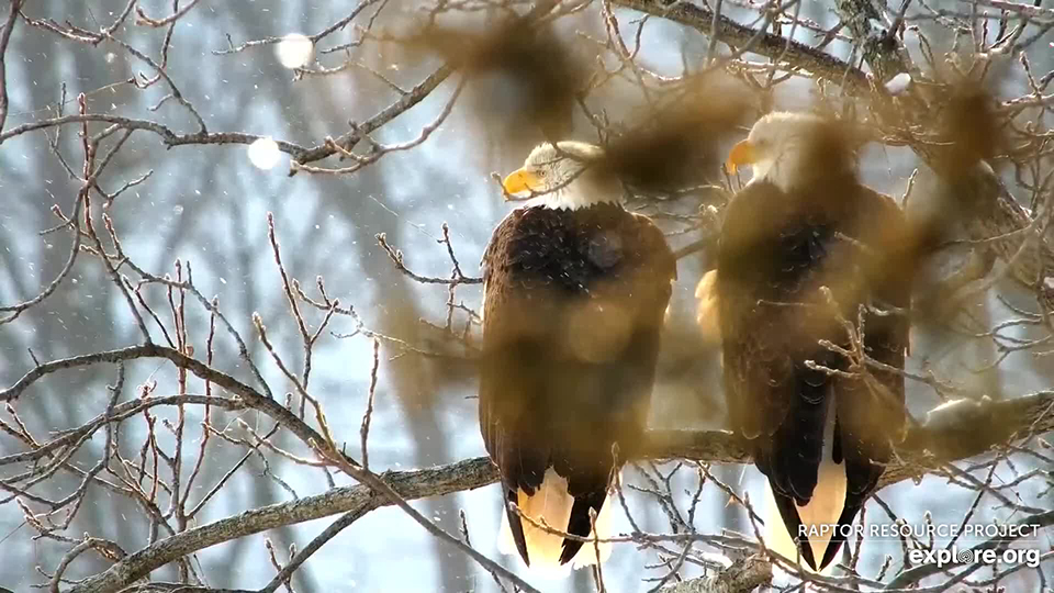 January 20, 2021: Resident eagles at Great Spirit Bluff