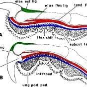 A bird's talon-locking mechanism