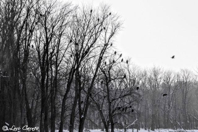January 6, 2018: Eagles at Lock and Dam 17. Photo by Lori Carnes.