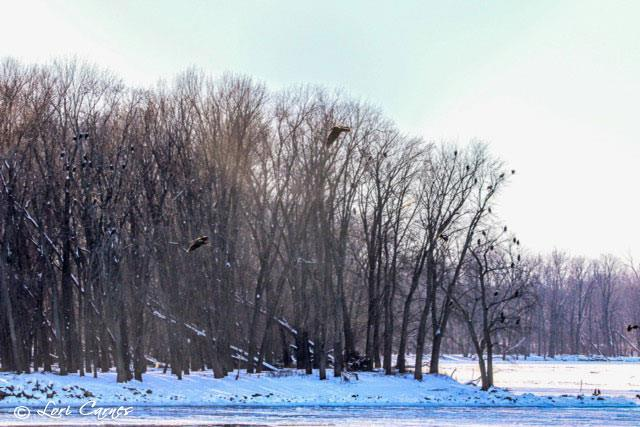 January 6, 2018: 41 eagles? How many do you see? Photo by Lori Carnes.