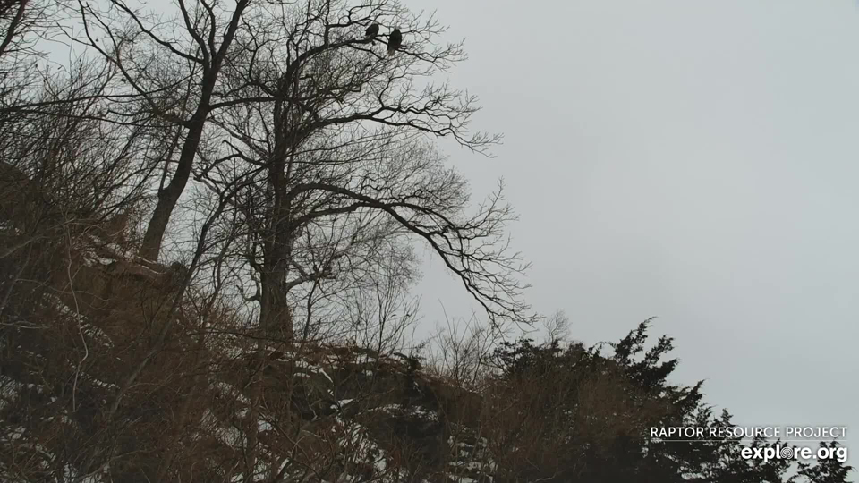 Our resident pair of bald eagles occupy a nest at the base of the bluff. They are pictured here perched quite comfortably at the top of Great Spirit Bluff....before Newman's recent return. We think they will not feel as comfortable doing that now.