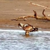 March 13, 2020: A stunningly beautiful young eagle forages in shallow water.