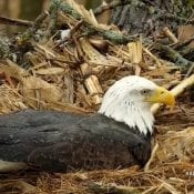 March 10, 2021: Mr. North incubates stoically in the spring rain. While water puddles on his back and drains down his feathers, he keeps the eggs beneath him warm and dry!