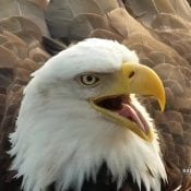 March 21, 2021: DNF appears to share a story at Decorah North! The unusually warm weather has both eagles panting. It's hard to believe they were coping with subzero temperatures a month ago.