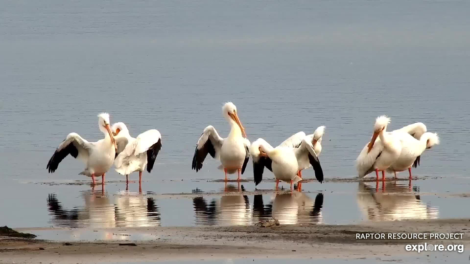 March 22, 2021; Pelicans return to the Mississippi Flyway!
