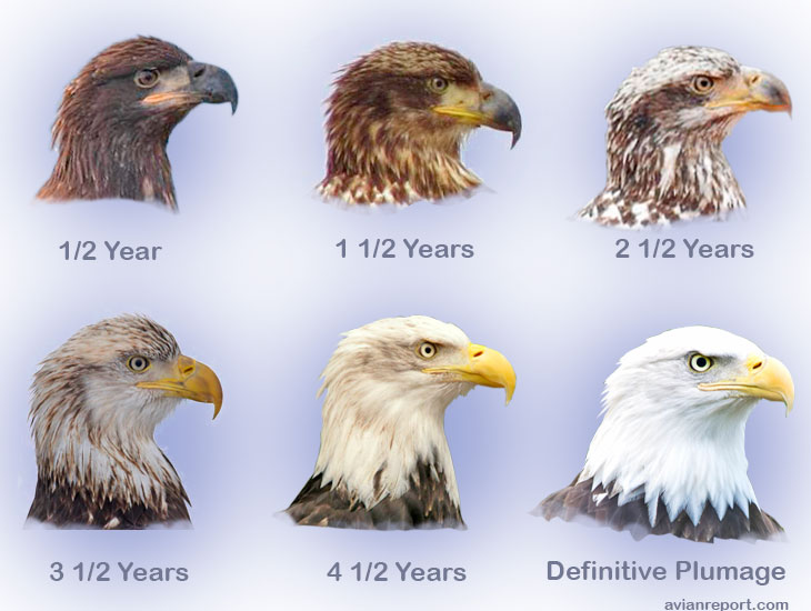 Aging eagles, author unknown