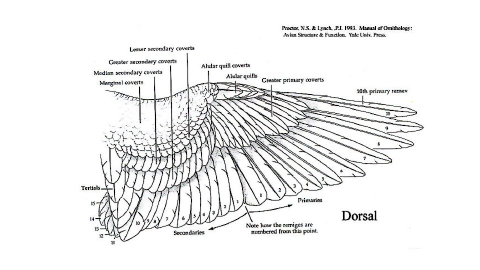 The Avian Wing, Dorsal View. Credit Proctor, N. S., & Lynch, P. J. (1993). Manual of ornithology: Avian structure & function. New Haven: Yale University Press