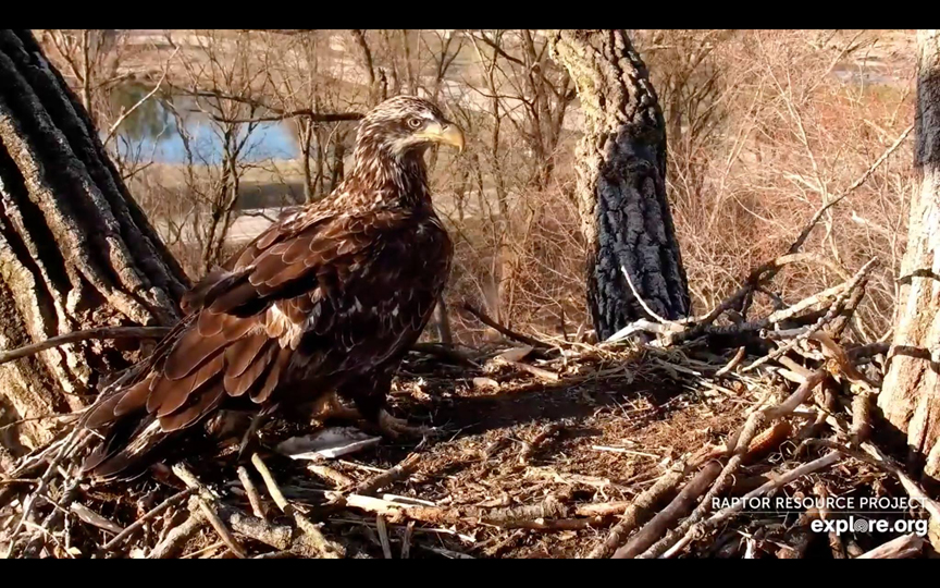 April 1, 2021: No fooling! A three-year-old subadult eagle stopped by N2B!