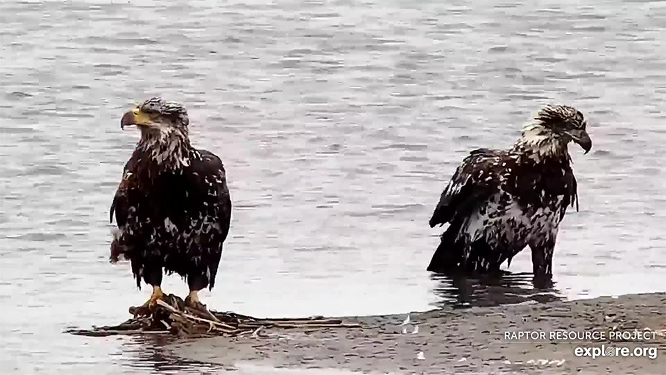 April 15, 2021: Eagles on the Flyway
