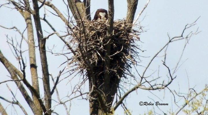 April 18, 2021: Robin sees Mom feeding three bobbleheads!