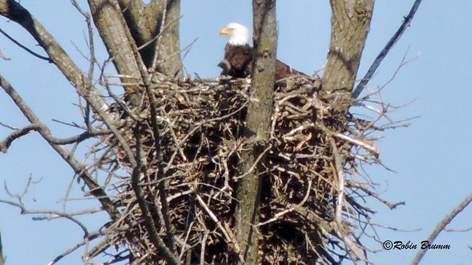 April 18, 2021: Robin sees DM2 and eaglet