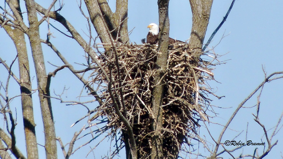 April 18, 2021: Robin sees DM2 with a hungry eaglet