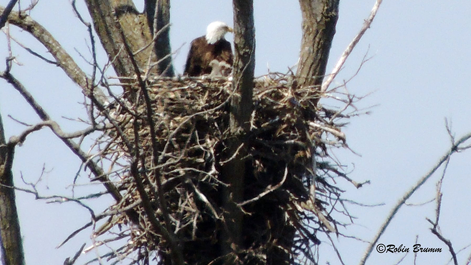 April 18, 2021: Robin's Day Trip - Mom with three eaglets