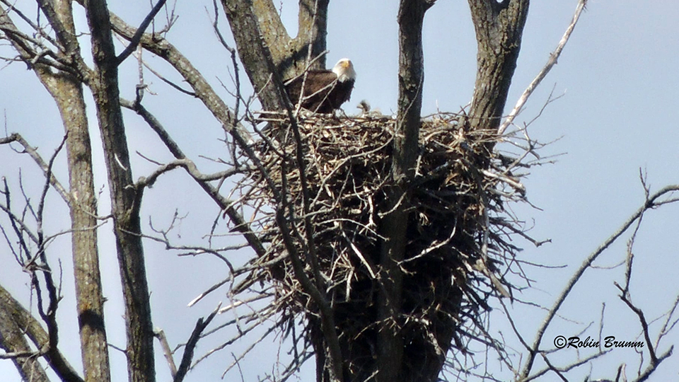 April 18, 2021: Robin's Day Trip - Mom with an eaglet