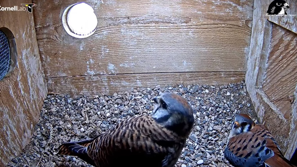 April 21, 2021: The kestrels have a conversation. She is at left and he is at right. Unusual for raptors, American kestrels have sexually dimorphic plumage.