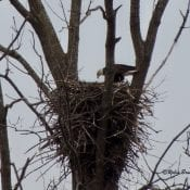 April 5, 2021: Mom feeding. You can see something stringy hanging from her beak!