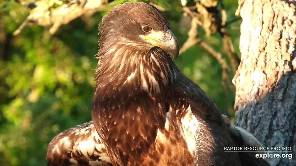 June 14, 2021: A sizeable cropzilla lurks beneath DN14's beautiful juvenile feathers!