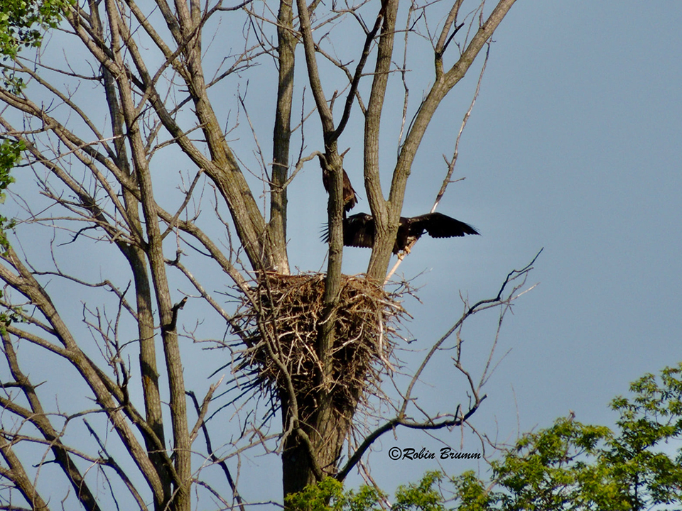 6-23-21: Two eaglets in N3