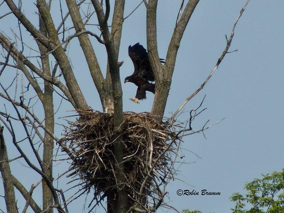 6-23-21: Eaglet wingercising in N3