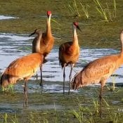 June 28, 2021: Sandhill cranes on the Mississippi Flyway