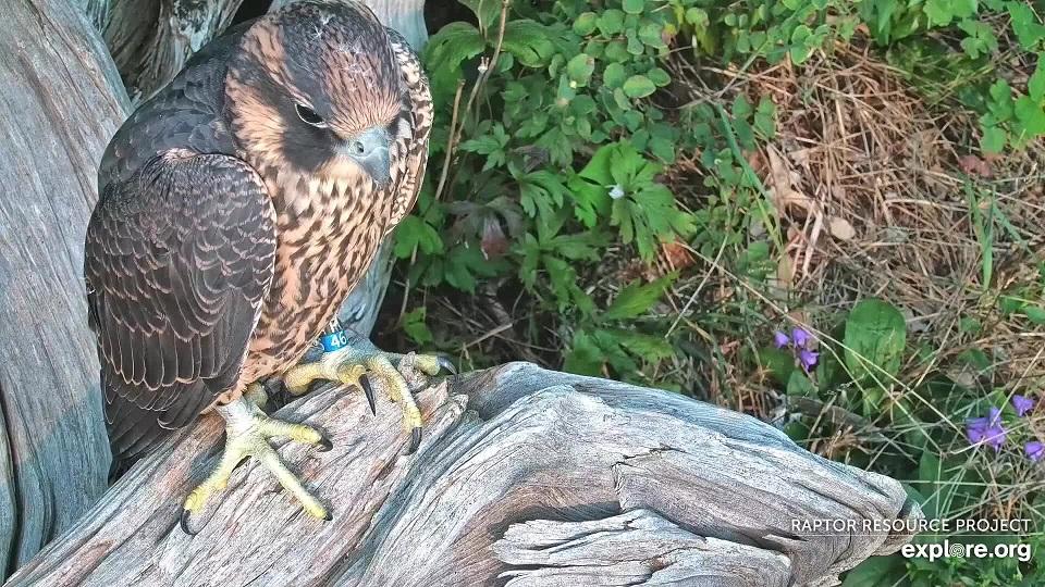 Fledgling falcon Chance