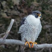 Peregrine falcon Michelle at fifteen years old