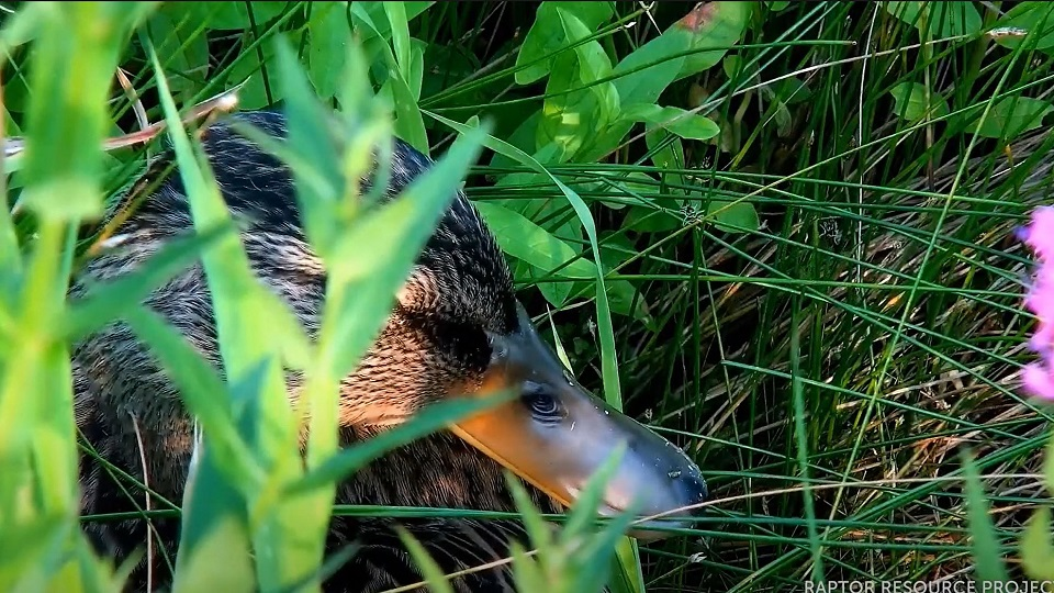 July 31, 2021: A juvenile mallard duck preens in the weeds. While precoccial mallard ducklings leave their natal nest within 24 to 48 hours of hatch, they can't fly until their flight feathers grow in. According to Ducks Unlimited, they gain flight at about 55 days