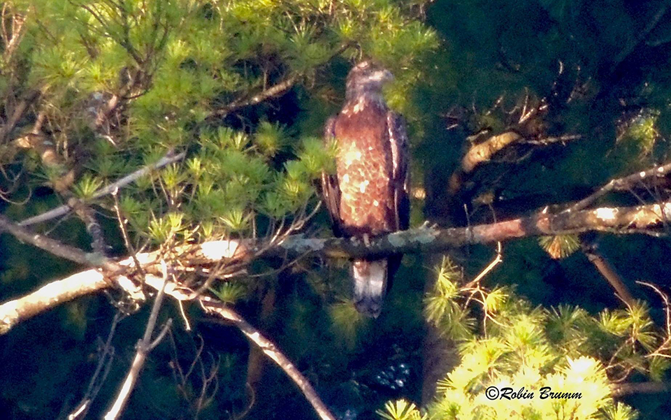 August 30, 2021: A subadult in the pine trees