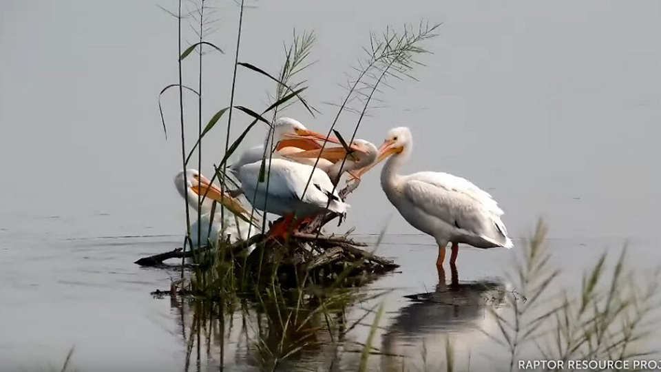 August 31, 2021: A pelican spa!